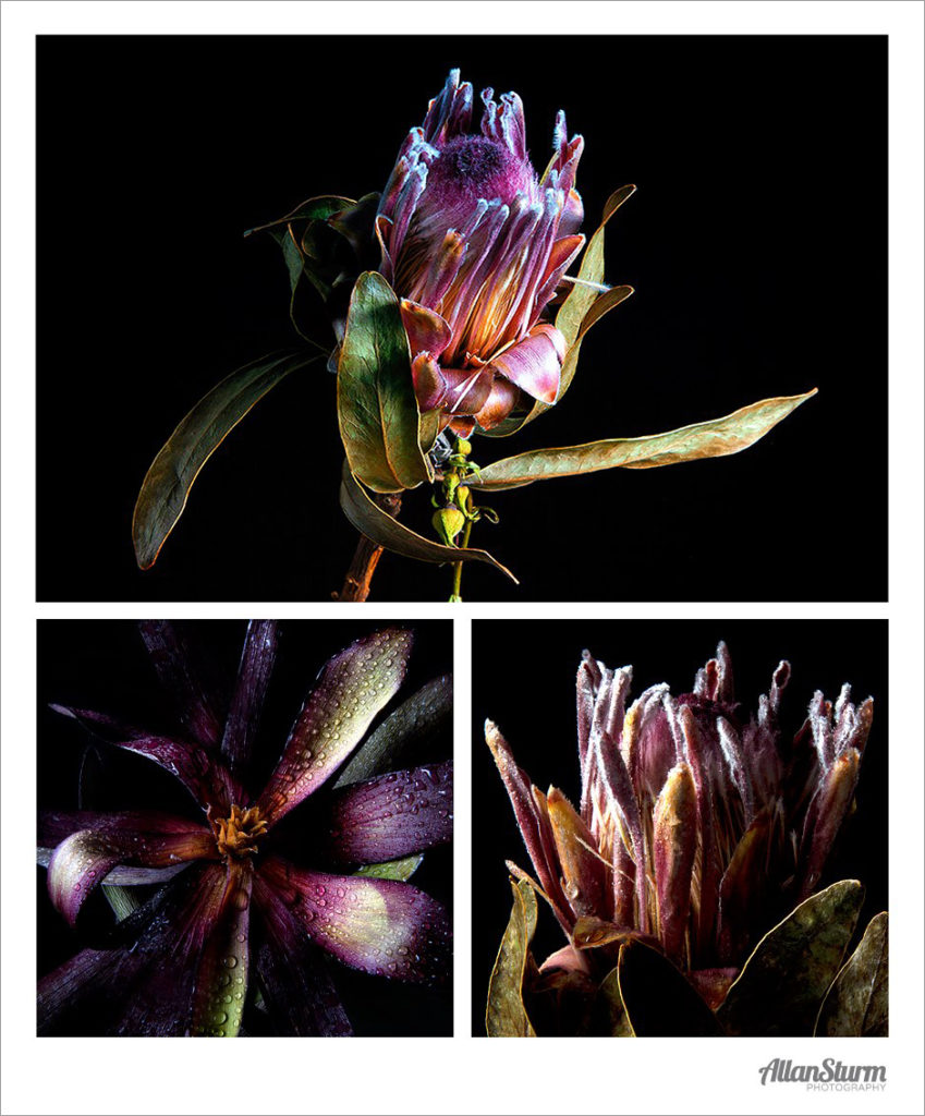 Flower Study, Fine Art, Allan Sturm Photography